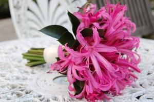 Pink Nerine Lilies